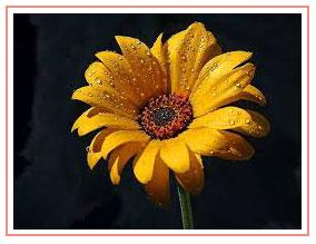 sunflower-on-black